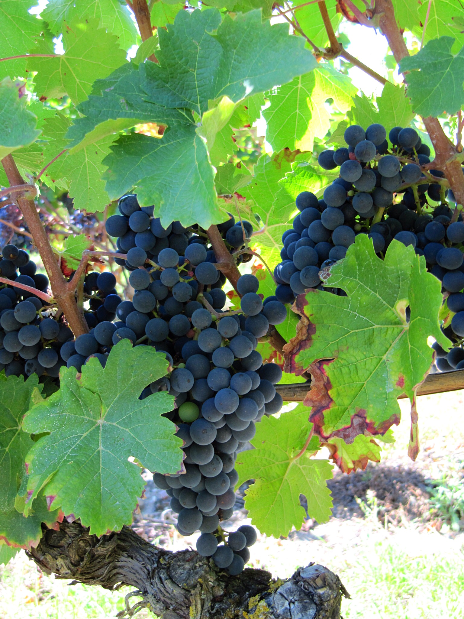 The vines at Chenoceaux