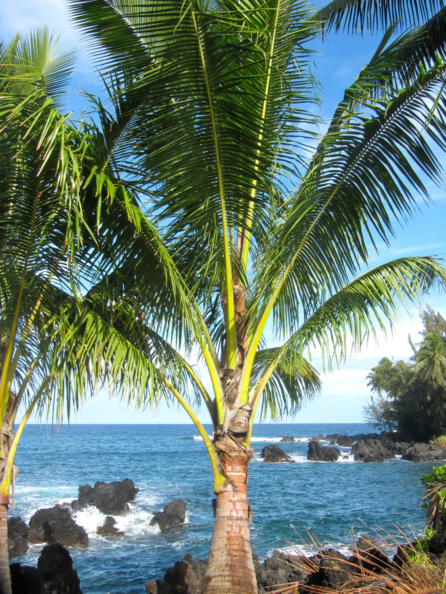 Palm tree in Ke'anae