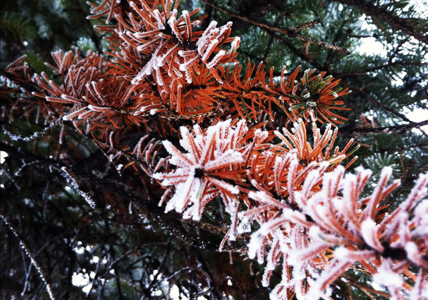 Frosty branches