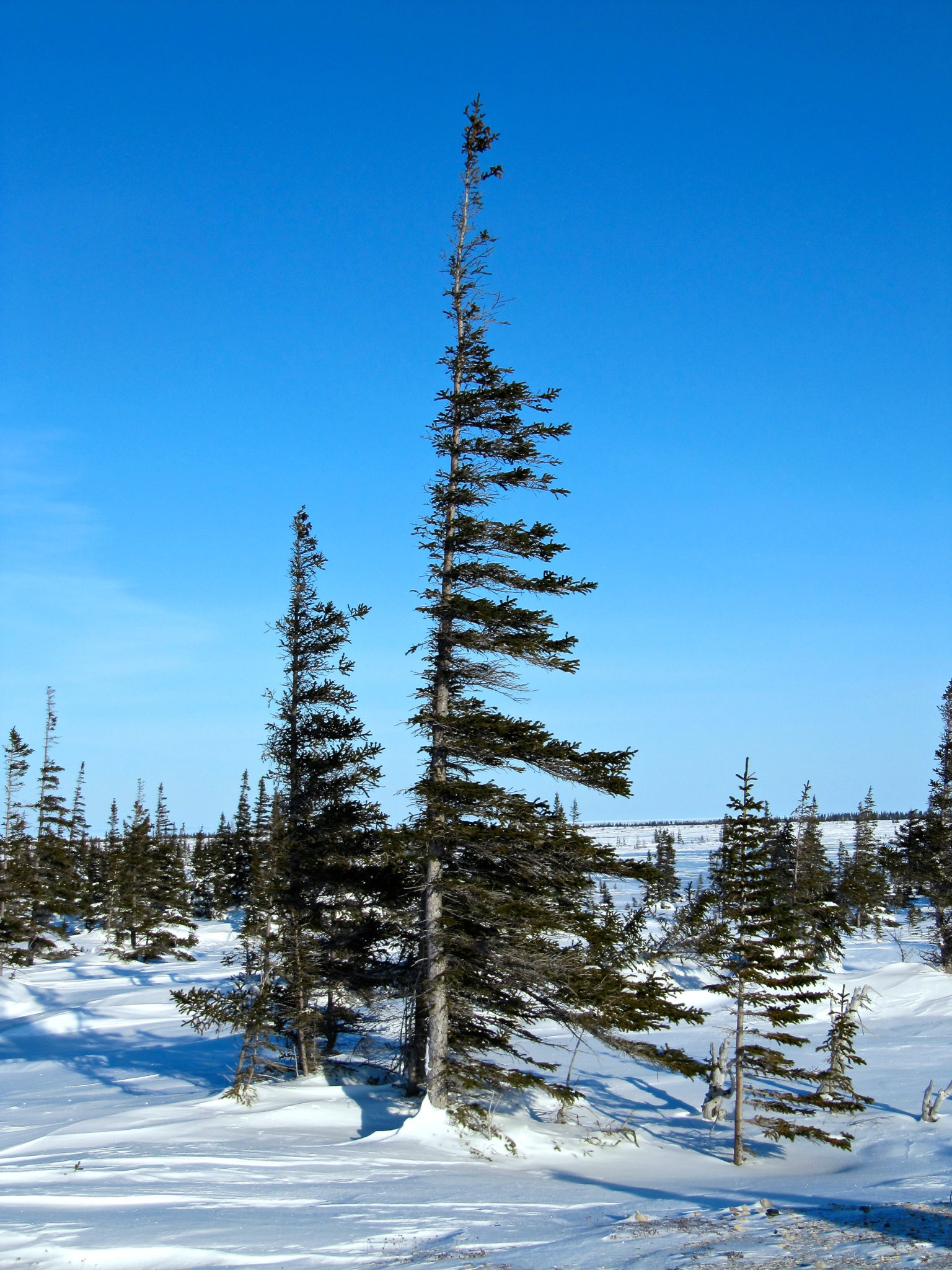 The windswept trees on the tundra in Churchill, Manitoba.