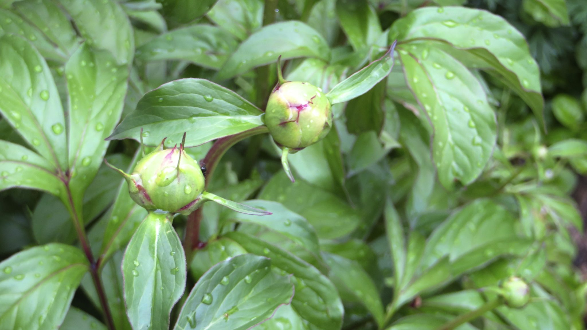 Peonies about to bloom.