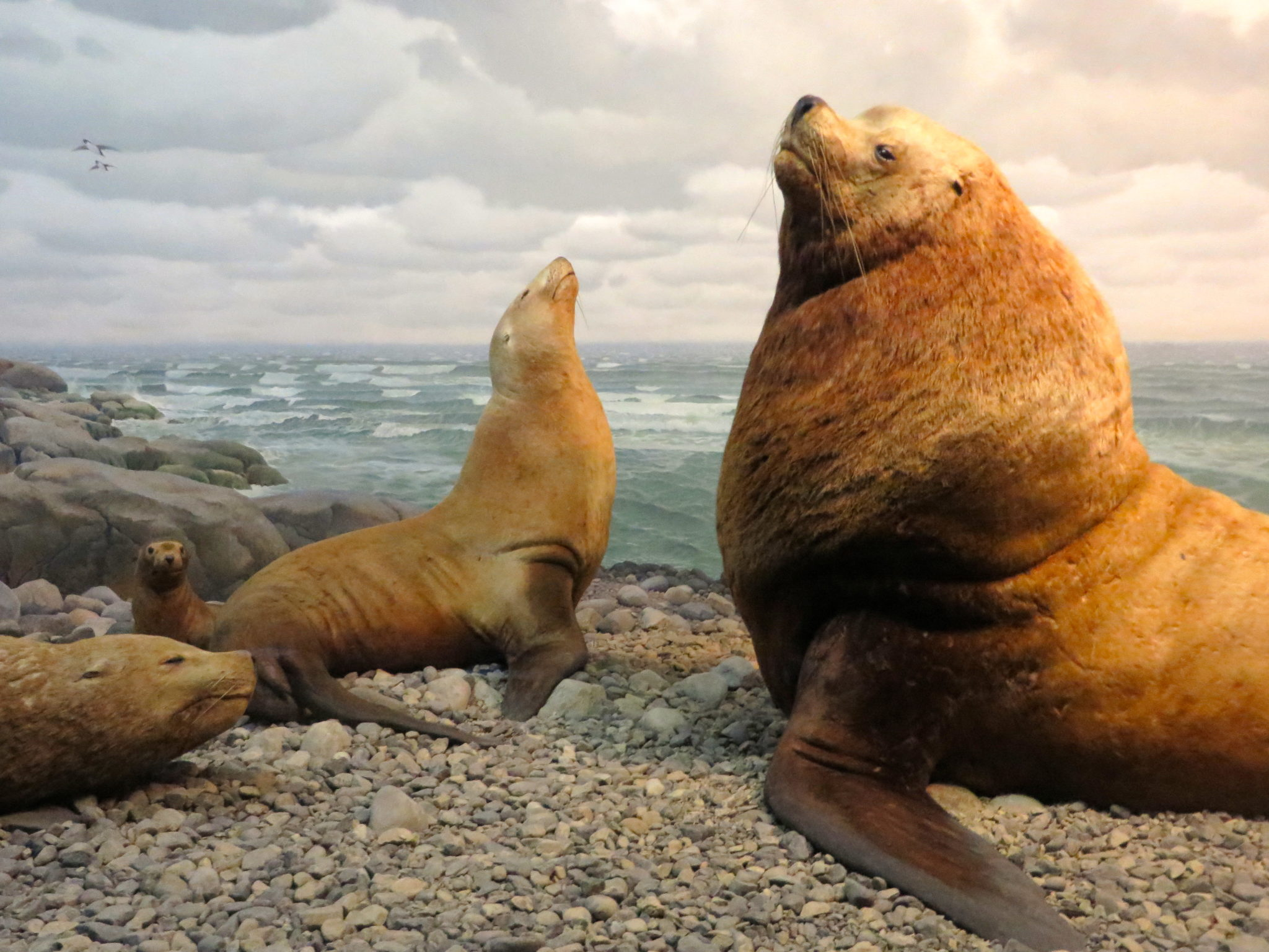 Northern Sea Lion, Milstein Hall of Ocean Life, American Museum of Natural History.