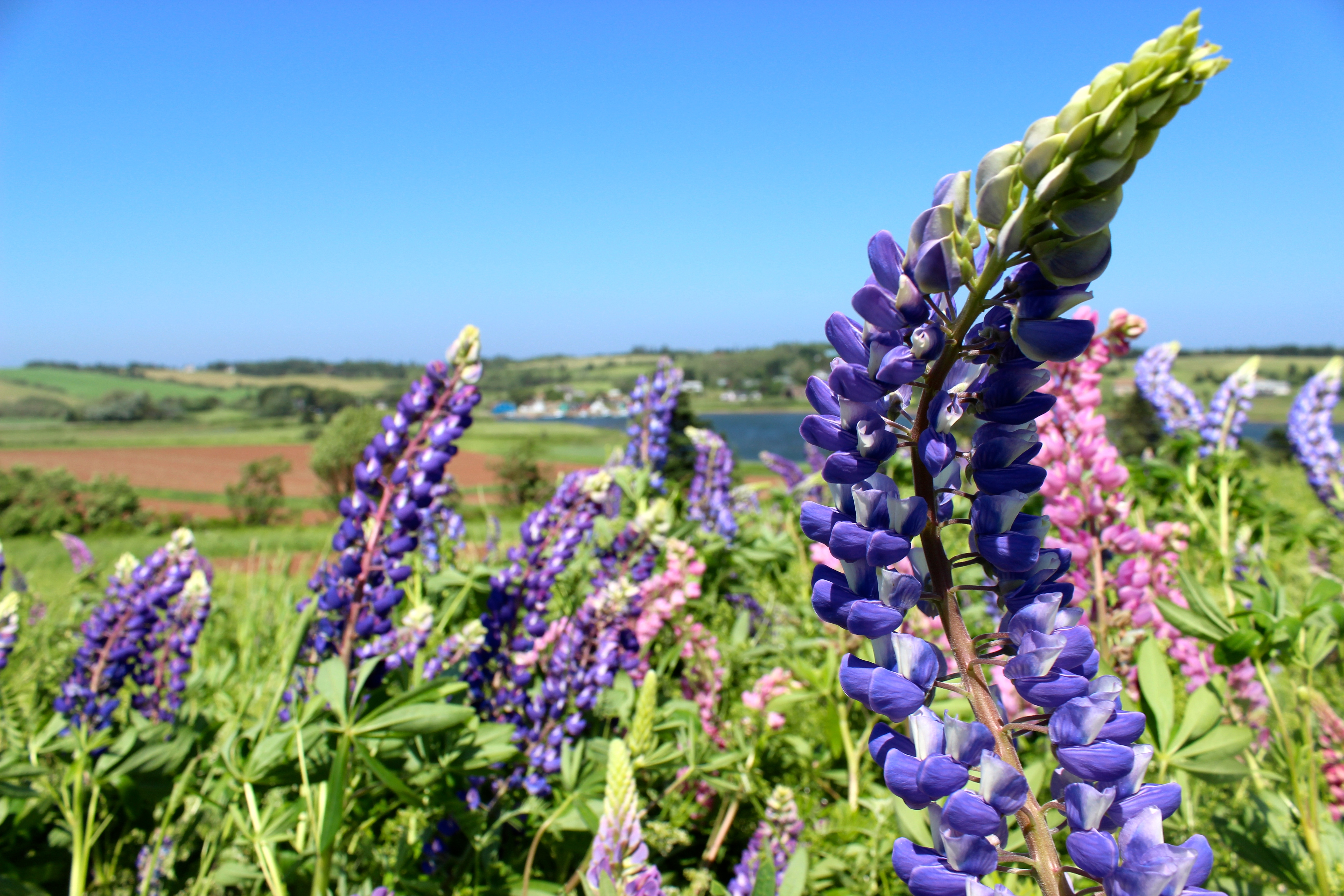 More lupins!