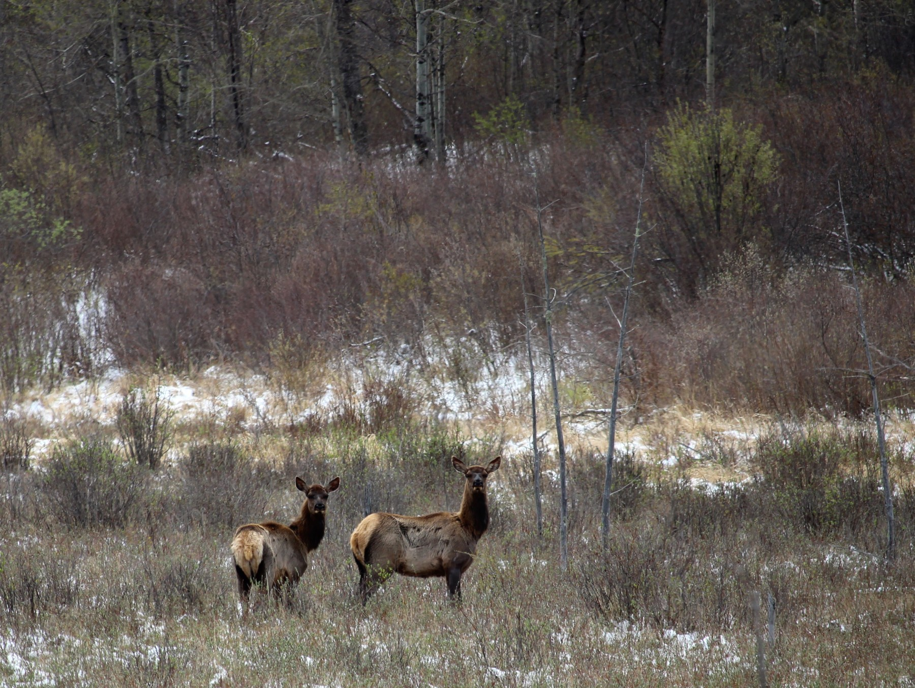 Elk, Riding Mountain National Park